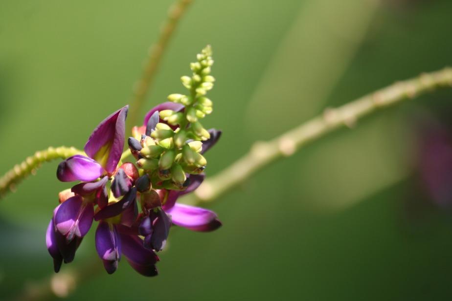 kudzu-flower-831489_1920