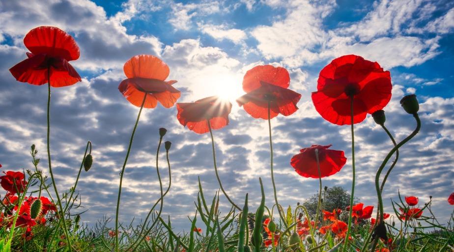 poppies-4291706_1920